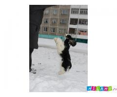 Милый и ласковый щенок ам. кокер спаниеля (продается)