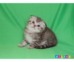 Шотландский вислоухий котёнок, продаю
