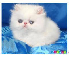 Персидские котята белого окраса