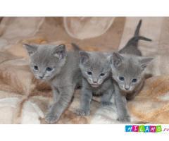 Голубые котятки русской голубой породы