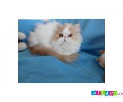 персидская котята мальчик и девочка