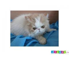 Срочно персы котята