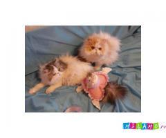 Срочно котята персы