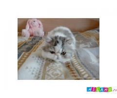 Добрые котята персы