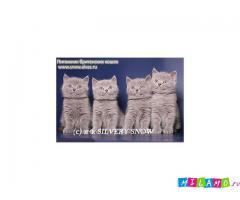 Покупка плюшевого британского котенка