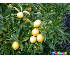 Саженцы лимонов в горшках размером от 20 см до крупномеров