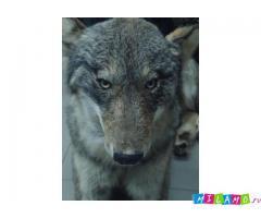 Продается чучело волка