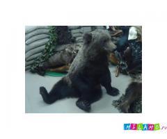 Чучело молодого медведя