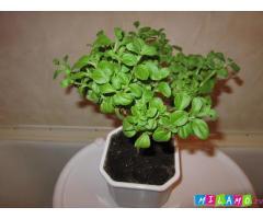 Стевия - медовая трава растение для дома и сада