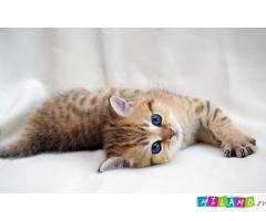 Шотландский котик редкого окраса