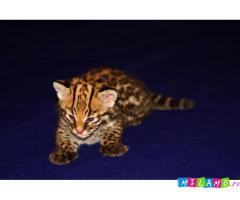 Продам котят Оцелота.