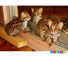 Продам котят Азиатской леопардовой кошки.