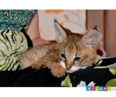 Продам котят Камышового кота-Чауси.