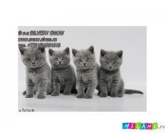 Голубые плюшевые британские котята из питомника.