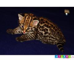 Оцелот.Котята из зоопитомника.