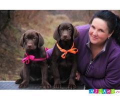 Шоколадные девочки Лабрадора с родословной