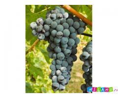 Винные сорта винограда для личного потребления