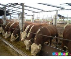 Продажа крупного рогатого скота КРС