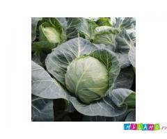 Семена белокочанной капусты KS 412 F1 фирмы Китано