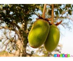 Баобаб. Порошок мякоти плодов. Диетический продукт из Западной Африки