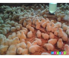 Цыплята Кобб-500. Подрощенные. Дешевле чем у других