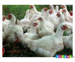 Суточные и подрощенные (10-14 дней) цыплята бройлеров породы КОББ-500 (Чехия)