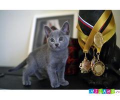 Котята породы Русская голубая