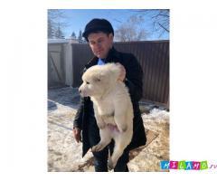 Продажа щенков алабая от чемпионов России
