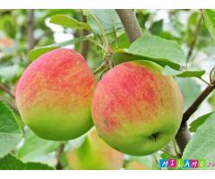 Крупномеры яблони из питомника