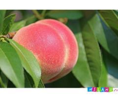 Крупномеры персика оптом и в розницу от производителя