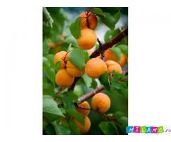 Крупномеры абрикоса оптом и в розницу от производителя