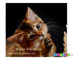 Сомали котята