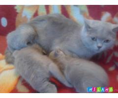 Двухмесячные британские котята